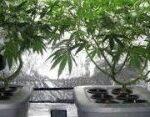 Medical Marijuana: Medical Uses of Cannabis and THC