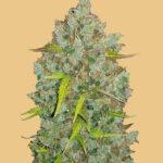 10 Best Autoflower Cannabis Seeds [2021]