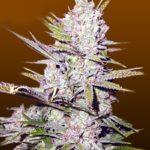 Cheap Marijuana Seeds - Best Value for Money Deals