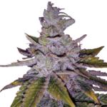 20 Best Purple Weed Strains [2021]