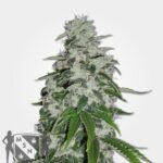 20 Best Indica Strains in 2020 (Seeds